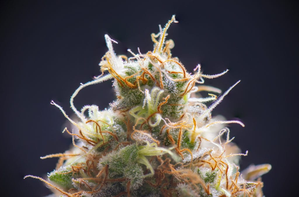 Macro detail of cannabis flower showing trichomes where terpenes are stored.