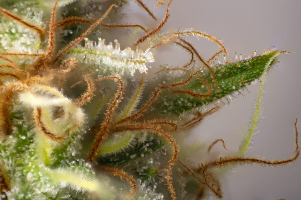 Cannabis flower with visible trichomes.