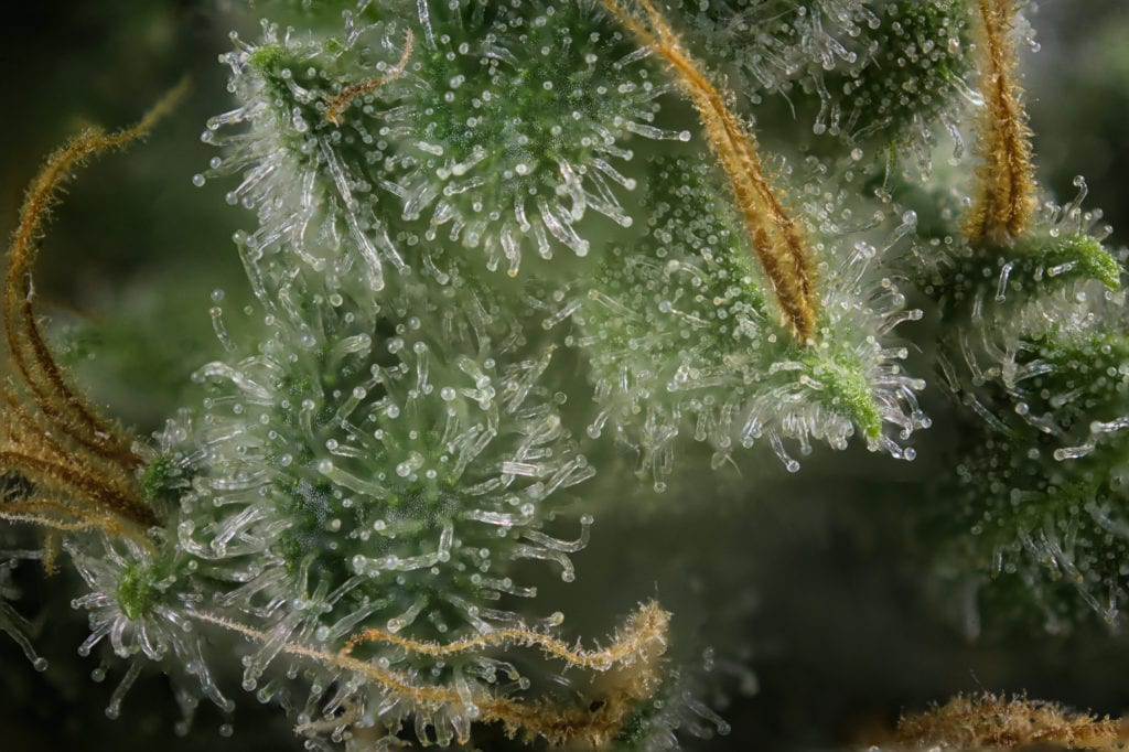 Macro shot of cannabis plant showing trichomes and hairs.