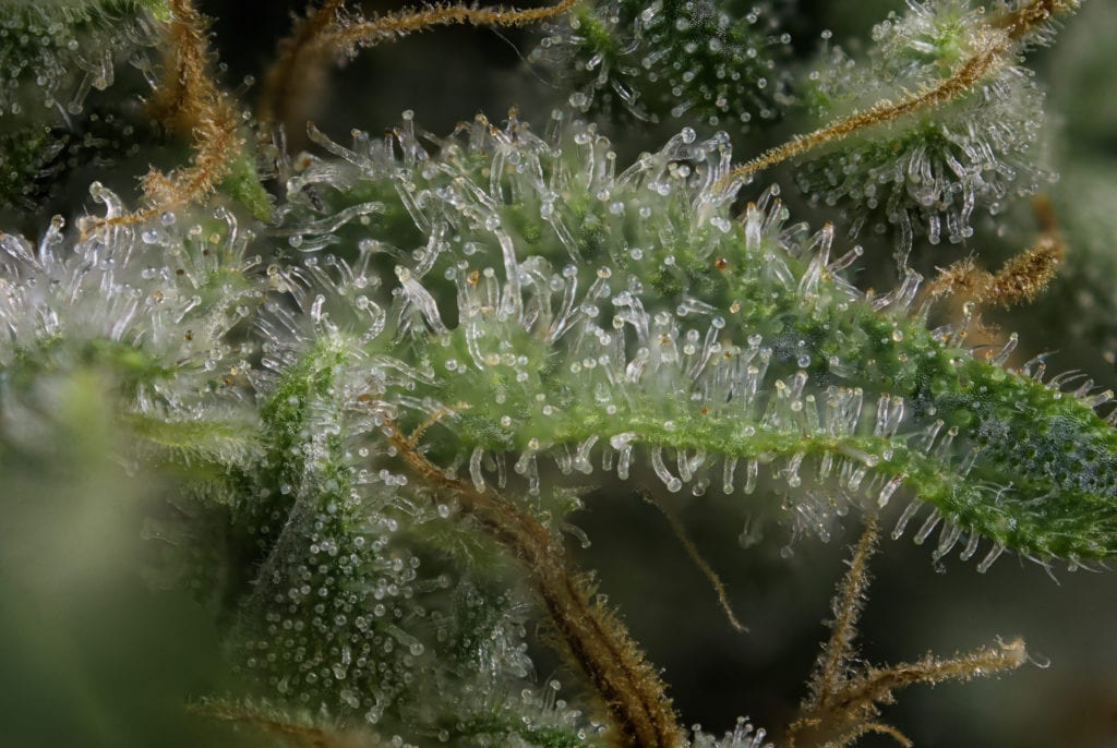 Trichomes create and store terpenes, like pinene.