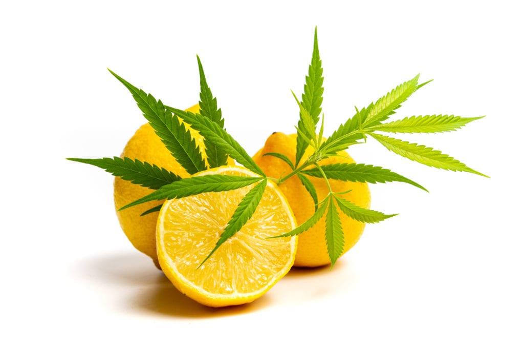 Cannabis leaf photographed with sliced lemons.