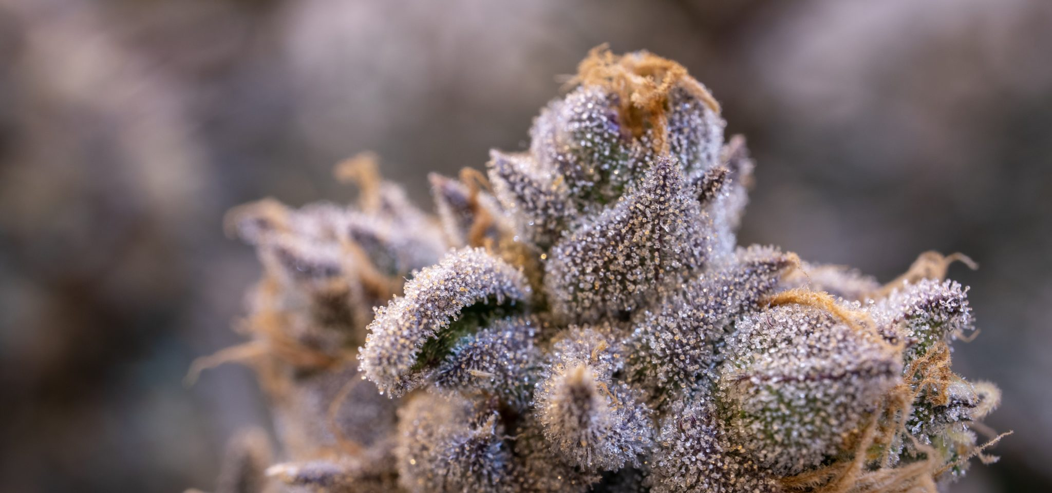 Visible crystals of trichomes - cannabis